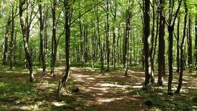 Στο δάσος στη μέση των δέντρων hornbeam, ομαλή πτήση προς τα εμπρός, άποψη κηφήνων απόθεμα βίντεο