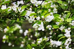 Στο δέντρο πάρκων την άνοιξη η Apple άνθισε άσπρα λουλούδια και Στοκ Εικόνα