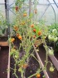 Στο θερμοκήπιο κήπων, ωριμάζοντας πράσινες ντομάτες στον κλάδο εγκαταστάσεων του Μπους tomate στον κήπο Στοκ εικόνα με δικαίωμα ελεύθερης χρήσης