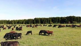 Στο λιβάδι, στον πράσινο χλοώδη τομέα, πολλοί η καφετιά και μαύρη καταγωγή, αγελάδες αναπαραγωγής, ταύροι βόσκει στο αγρόκτημα κα απόθεμα βίντεο