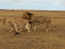 Στο σαφάρι το ζευγάρωμα λιονταριών Στοκ Εικόνες