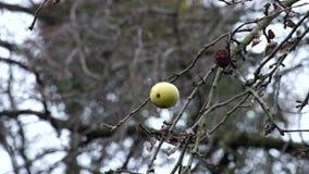 Στο τέλος το μήλο κρεμά σε έναν κλάδο δέντρων απόθεμα βίντεο