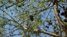 Στο υπόβαθρο του μπλε ουρανού, κλάδος, κωνοφόρο δέντρο με τους κώνους που ταλαντεύονται στον αέρα απόθεμα βίντεο