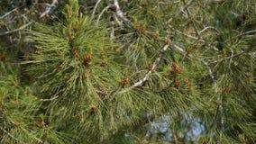 Στο υπόβαθρο του μπλε ουρανού οι κλάδοι του δέντρου πεύκων που ταλαντεύεται στον αέρα φιλμ μικρού μήκους