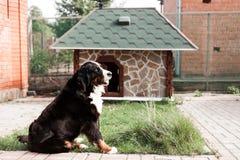 Στο υπόβαθρο του σπιτιού του καθαρής φυλής ενήλικο σκυλί γ υπαίθρια στη φύση μια ηλιόλουστη ημέρα κατά τη διάρκεια τα τέλη της άν Στοκ φωτογραφία με δικαίωμα ελεύθερης χρήσης
