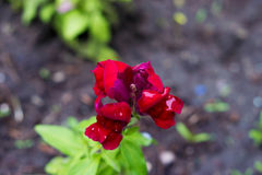 Στο χορτοτάπητα, Antirrhinum άνθισε σκούρο κόκκινο με τις διαφανείς πτώσεις στα πέταλα Μαλακό bokeh Στοκ Φωτογραφίες