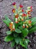 Στο primrose λουλούδι λουλουδιών κήπων Στοκ εικόνα με δικαίωμα ελεύθερης χρήσης