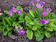 Στο primrose λουλούδι λουλουδιών κήπων Στοκ Εικόνα