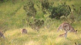 Στράτευμα καγκουρό - αυστραλιανή άγρια φύση απόθεμα βίντεο