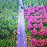 Στρέμματα της Κίνας Begonia των λουλουδιών στην επαρχία Κίνα Shaanxi στοκ εικόνες με δικαίωμα ελεύθερης χρήσης