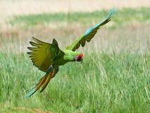 Στρατιωτικά militaris Macaw Ara Στοκ φωτογραφίες με δικαίωμα ελεύθερης χρήσης