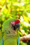 στρατιωτικό πορτρέτο πουλιών macaw Στοκ εικόνες με δικαίωμα ελεύθερης χρήσης