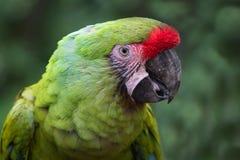 Στρατιωτικό πορτρέτο Macaw Στοκ Εικόνες
