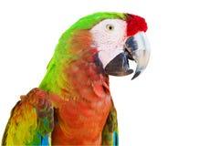 Στρατιωτικό macaw στο άσπρο υπόβαθρο Στοκ Εικόνα