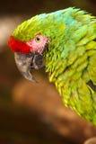 Στρατιωτικό Macaw Στοκ Φωτογραφίες