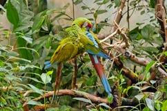 Στρατιωτικό macaw Στοκ φωτογραφίες με δικαίωμα ελεύθερης χρήσης