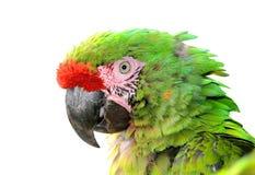 Στρατιωτικό macaw Στοκ Εικόνες