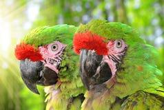Στρατιωτικό macaw Στοκ Φωτογραφία