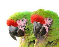 Στρατιωτικό macaw Στοκ φωτογραφία με δικαίωμα ελεύθερης χρήσης