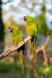 Στρατιωτικό macaw Στοκ Εικόνα