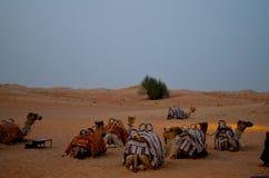Στρατόπεδο καμηλών στην έρημο του Ντουμπάι Στοκ Φωτογραφία