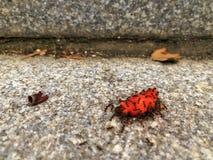 Στρατός των μυρμηγκιών που τρώνε το μούρο Στοκ Εικόνες