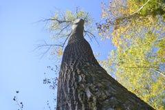 Στριμμένη άνοδος κορμών δέντρων προς τον ουρανό Στοκ Φωτογραφία