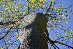 Στριμμένη άνοδος κορμών δέντρων προς το μπλε ουρανό Στοκ φωτογραφία με δικαίωμα ελεύθερης χρήσης