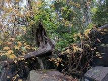 Στριμμένος κορμός δέντρων στοκ εικόνες