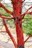 Στριμμένος το δέντρο madrona αποφλοίωσης στοκ εικόνες