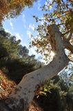 στριμμένο δέντρο Στοκ Εικόνες
