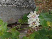 Στρογγυλά άσπρα λουλούδια στην άκρη του οδοντωτού - φράκτης καλωδίων στοκ φωτογραφία με δικαίωμα ελεύθερης χρήσης