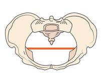 Στρογγυλή ή κυκλική μορφή μορφής W λεκανών Platypoid ή Platypelloid διανυσματική απεικόνιση