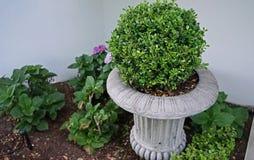 Στρογγυλός θάμνος πυξαριού σε ένα βάζο λουλουδιών, έννοια εξωραϊσμού κήπων στοκ εικόνα