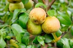 Στρογγυλό υβρίδιο μήλων αχλαδιών στον κλάδο δέντρων Στοκ Εικόνες