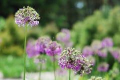 Στρογγυλές ιώδεις επανθίσεις ενάντια στο θολωμένο πράσινο κήπο. Στοκ εικόνες με δικαίωμα ελεύθερης χρήσης