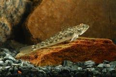 Στρογγυλός γοβιός, ψάρια melanostomus Neogobius Στοκ Φωτογραφίες