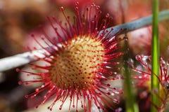 Στρογγυλός-με φύλλα sundew - μακροεντολή Στοκ Φωτογραφίες