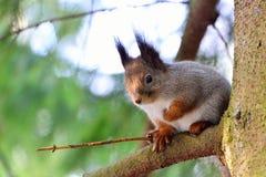 Στρογγυλός σκίουρος σε ένα δέντρο Στοκ Φωτογραφίες