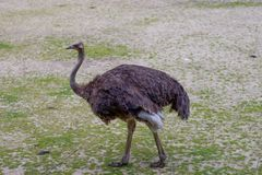Στρουθοκάμηλος ΟΝΕ στο ζωολογικό κήπο στοκ εικόνες