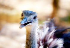 Στρουθοκάμηλος πουλιών και υπόβαθρο θαμπάδων Camelus Struthio Χαμογελώντας πουλί Στοκ Φωτογραφίες