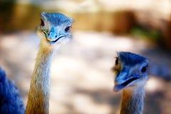 Στρουθοκάμηλος πουλιών και υπόβαθρο θαμπάδων Camelus Struthio Χαμογελώντας πουλί Στοκ Εικόνες
