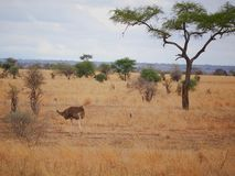 Στρουθοκάμηλος στο σαφάρι tarangiri-Ngorongoro της Αφρικής Στοκ εικόνες με δικαίωμα ελεύθερης χρήσης