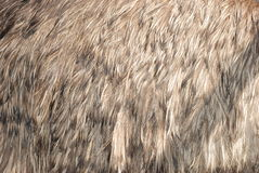 στρουθοκάμηλος φτερών Στοκ εικόνα με δικαίωμα ελεύθερης χρήσης