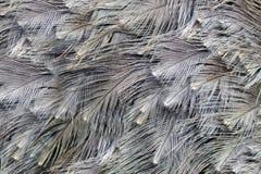 στρουθοκάμηλος φτερών &alpha Στοκ Εικόνες