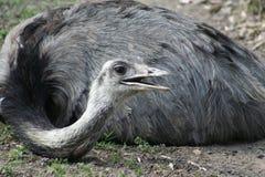 στρουθοκάμηλος Στοκ φωτογραφία με δικαίωμα ελεύθερης χρήσης