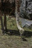 Στρουθοκάμηλος Στοκ Εικόνες