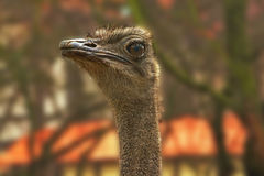 Στρουθοκάμηλος ηξών Μακρύς λαιμός στρουθοκαμήλων με τα μεγάλα καφετιά μάτια στοκ εικόνες με δικαίωμα ελεύθερης χρήσης