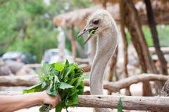 Στρουθοκάμηλος που τρώει Vegatable Στοκ Φωτογραφίες