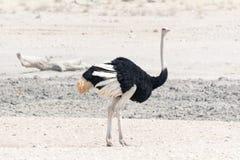 Στρουθοκάμηλος στην έρημο Στοκ Εικόνες